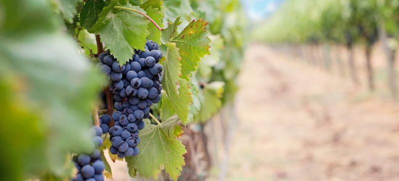 Photo for: Discovering Uncommon Grape Varietals